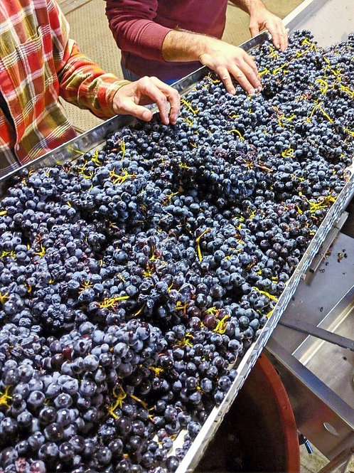 Winemaking grapes at Vino Bambino Winery