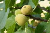 Fig Tree News