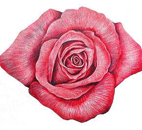 rosa-rosa.jpg