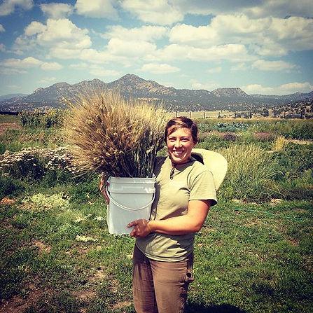 Black-tip wheat harvest for Clayton's we
