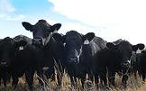 beef cattle farm insurance