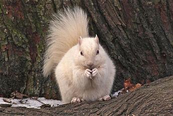 white squirrels exeter ontario.jpg