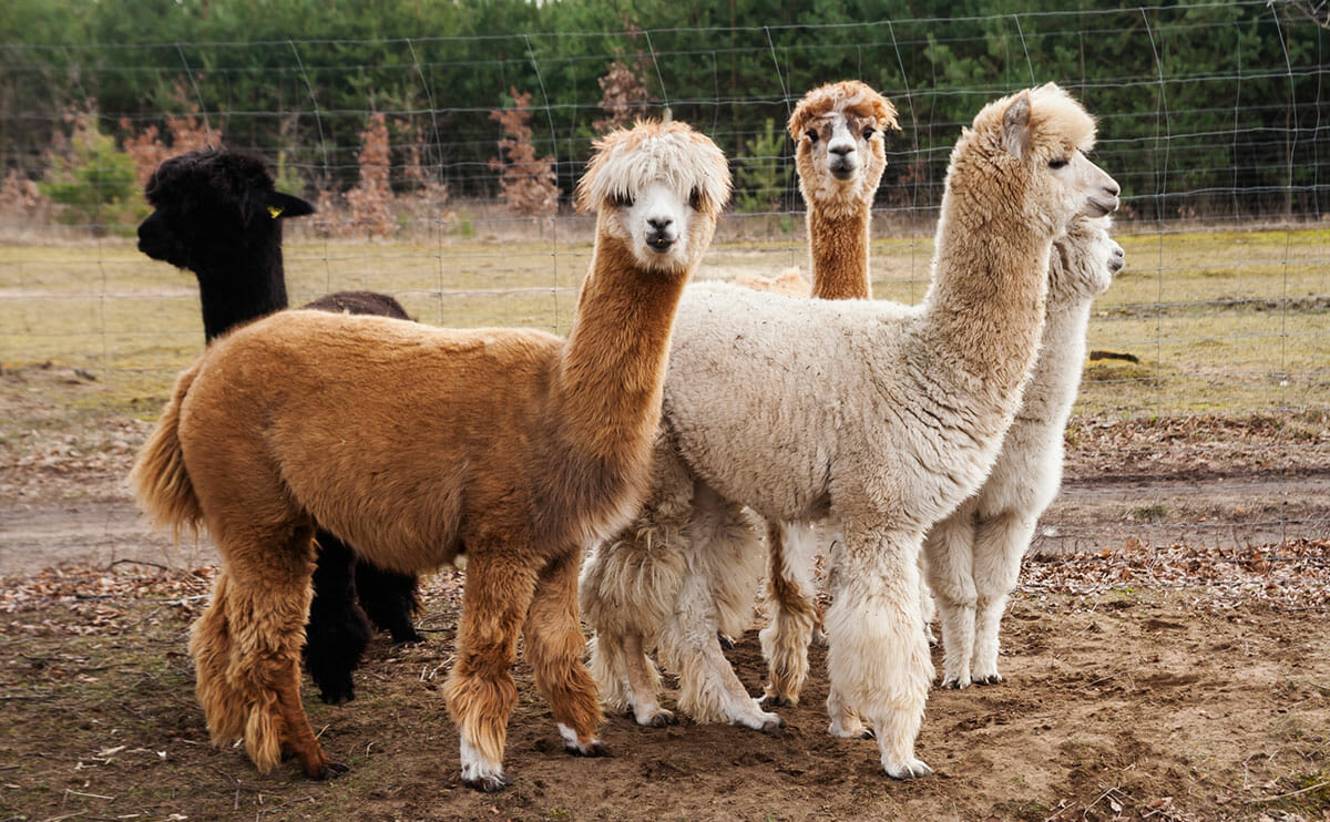 how much is alpaca insurance?
