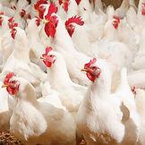 poultry insurance