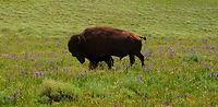 Bull Bison.jpg