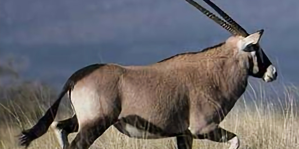Trophy Oryx Hunt for one Hunter with Del Re Outdoor Expeditions On the Armendaris Ranch