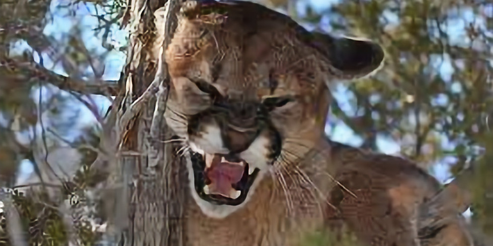 Trophy Cougar Hunt for one Hunter on the Quinlan Ranch In Northern New Mexico