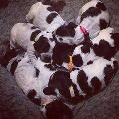 Puppy whelping collars