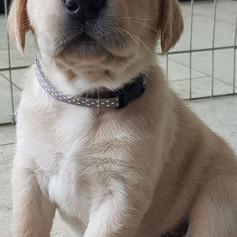 Puppy id whelping collars