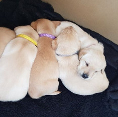 puppy whelping id collars bands