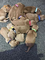 Puppy ID Whelping collars