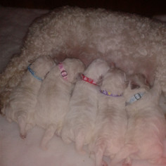 Puppies wearing their puppy id collars
