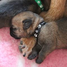 Puppy id collars