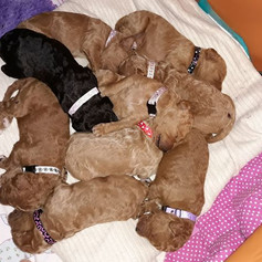 Puppy Identification collars
