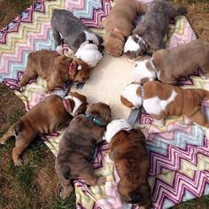 puppy whelping id collars