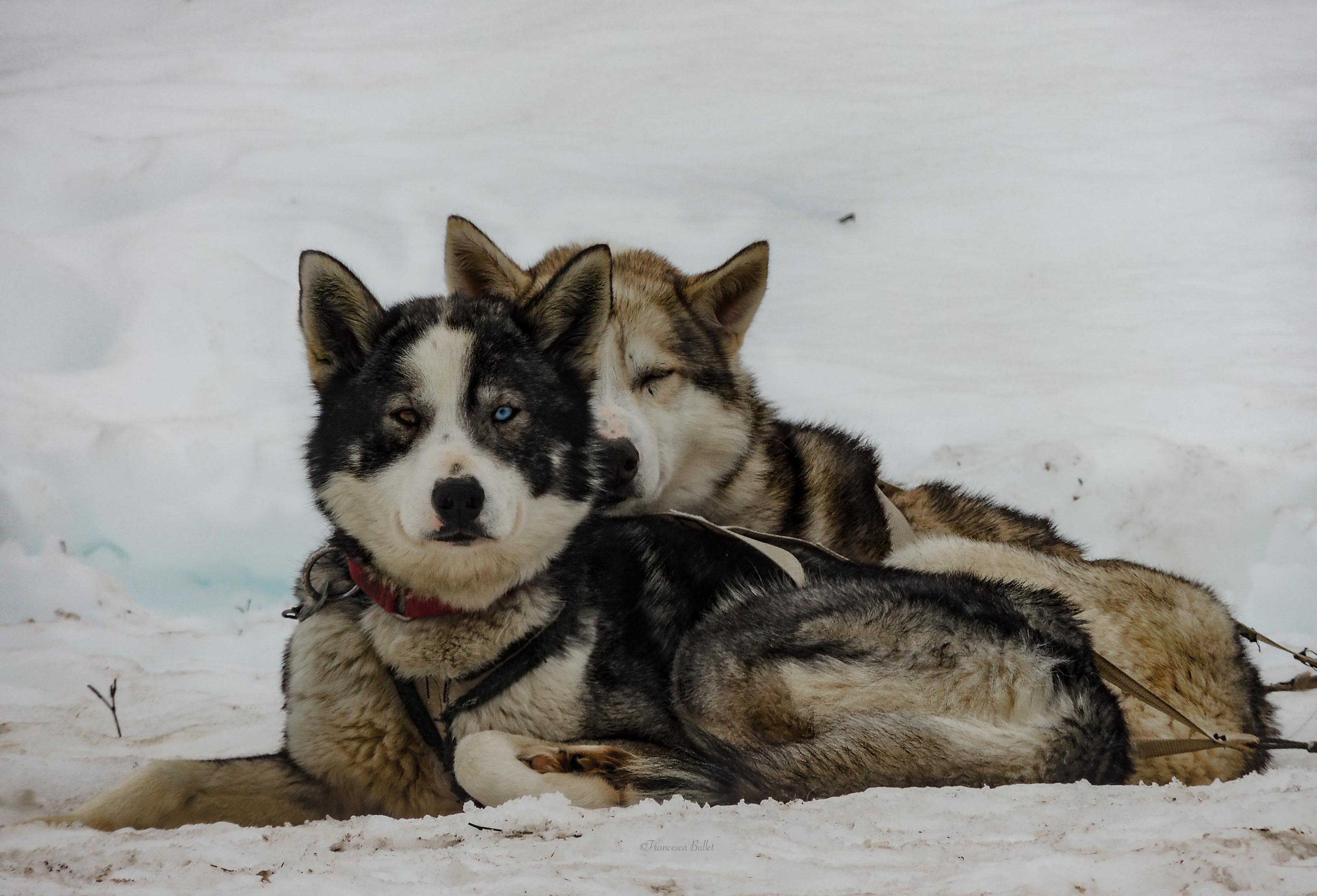 Lapland - sledge dogs