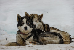 Lapland - sledge dogs