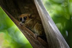 Madagascar Lemure topo