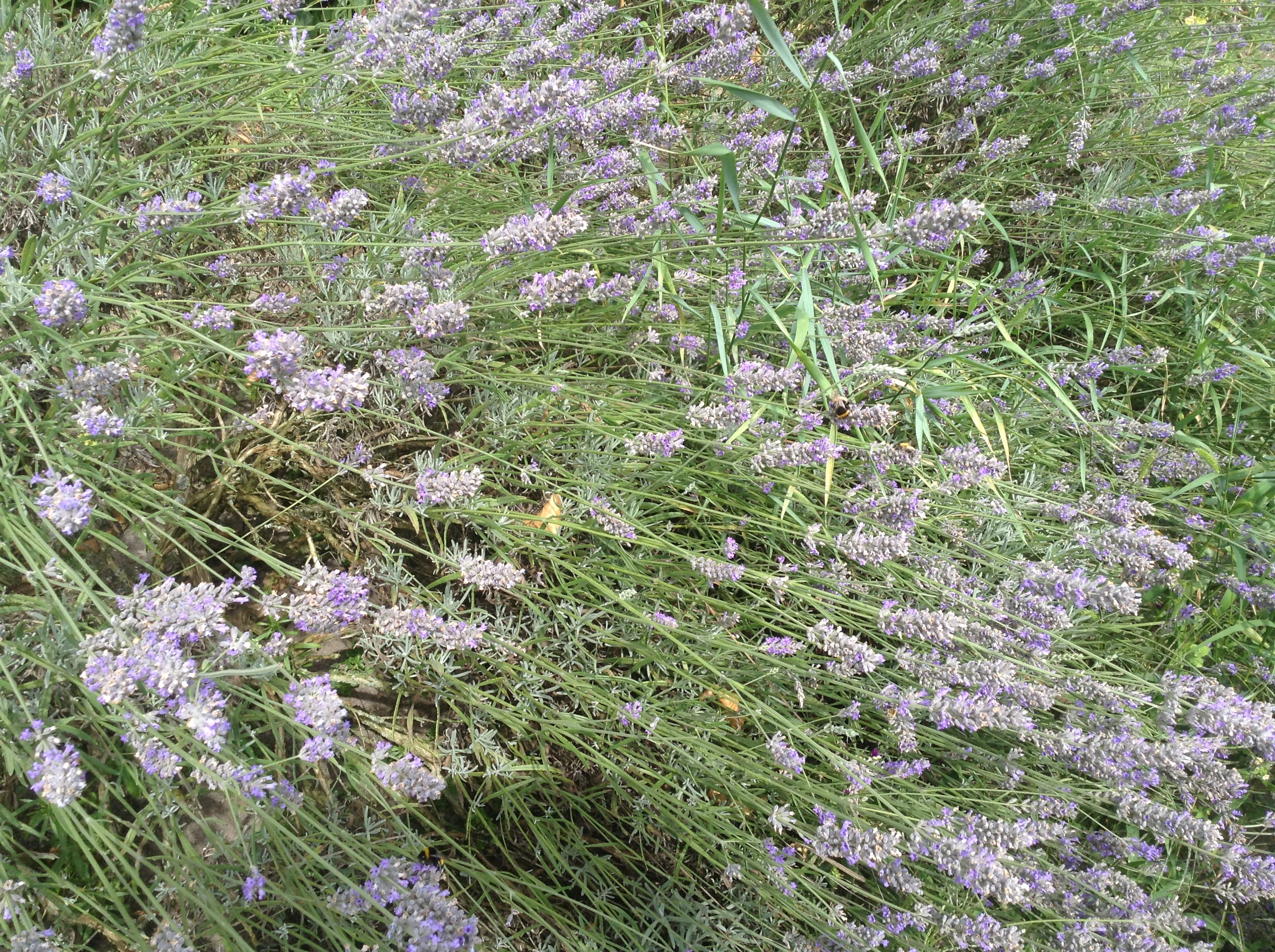 Kruiden - Lavendel