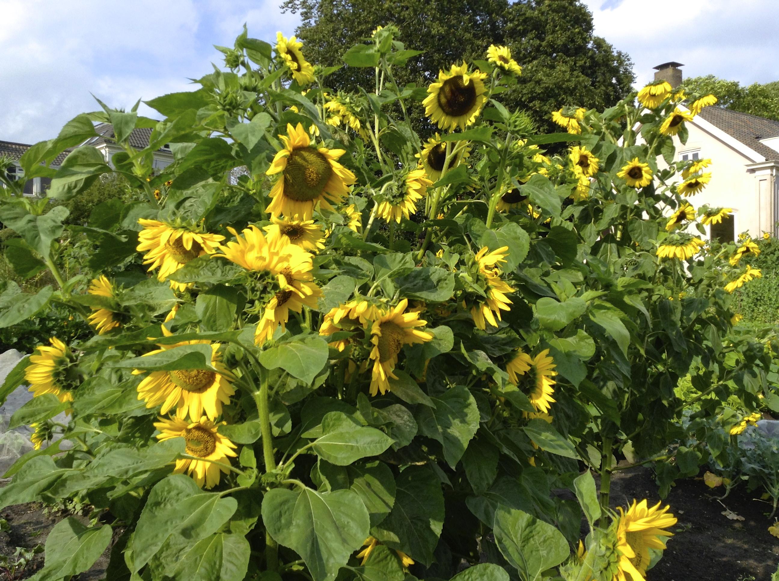 Bloemen - Zonnebloemen