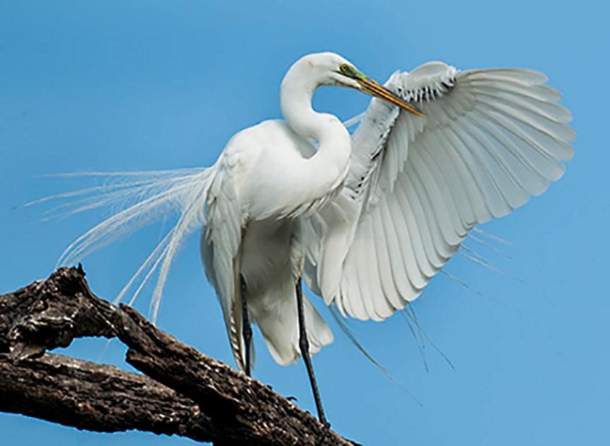 1_Great Egret Preening_East Coast of Flo