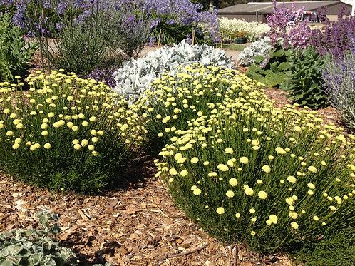 Santolina rosmarinifolia 'Primrose Gem'