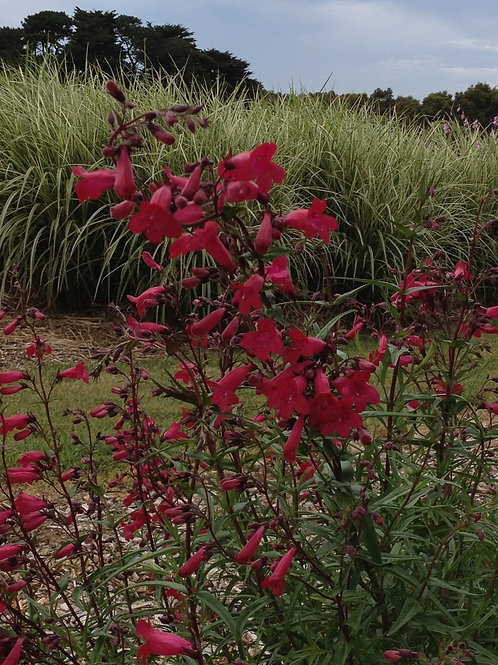 Penstemon 'Garnet'