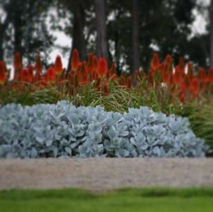 Cotyledon orbiculata, Kniphofia 'Winter Cheer'