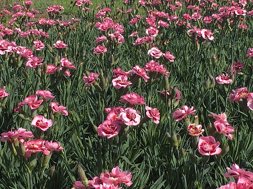 Dianthus 'Katherine'