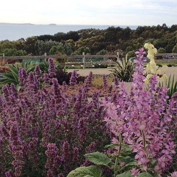 Salvia sclarea, Nepeta 'Six Hills Giant'