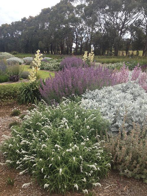 Salvia leucantha 'White velour'