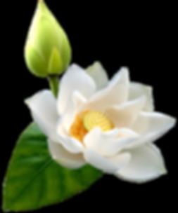 White_Lotus_PNG_Clip_Art-1346.png