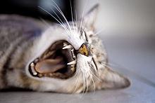 Kat van de geeuw