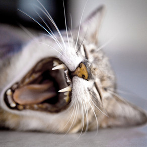 Must have meat! Cats are Obligate Carnivores