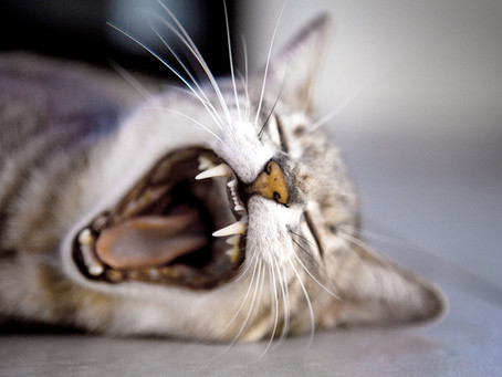 5 Feline Dental Tips