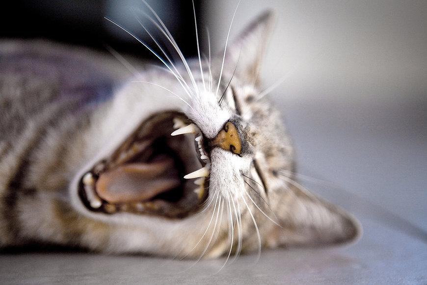 gähnende Katze