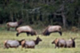 Elk viewing near Boxley Arkansas