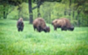 Buffalo trio David Dedman.jpg