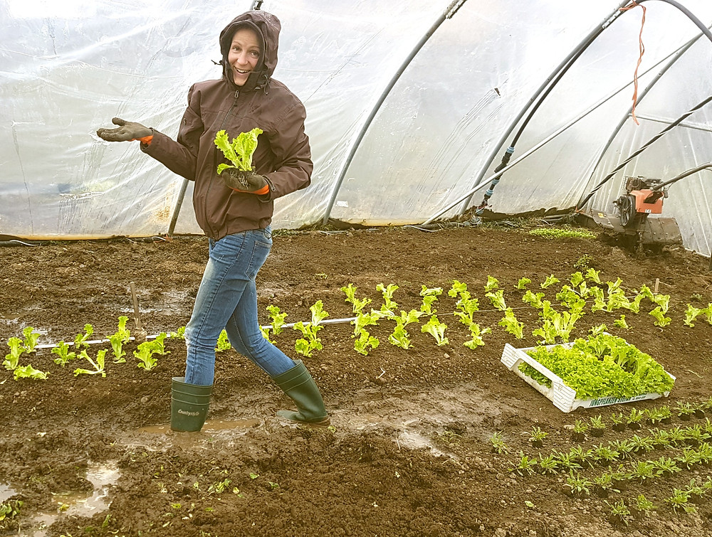 Salatpflanzung im Folientunnel