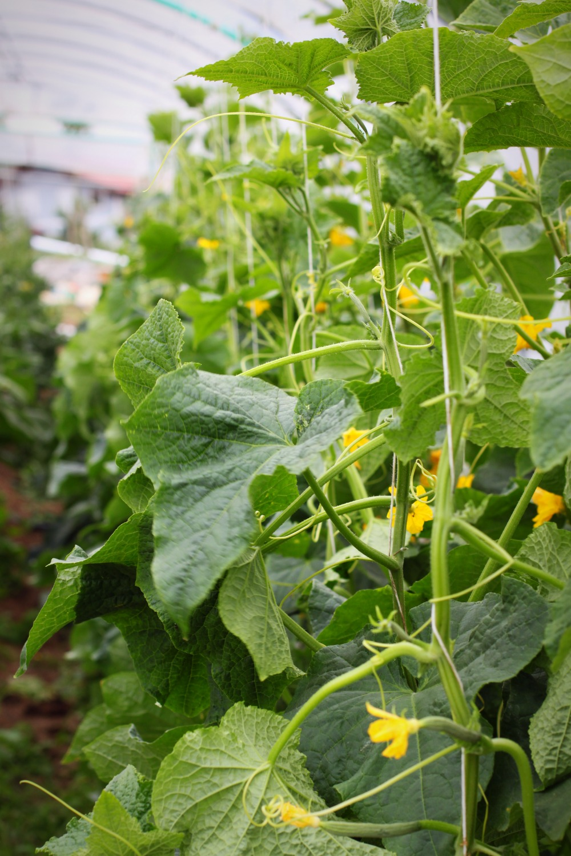 samenfeste Gurkenpflanzen