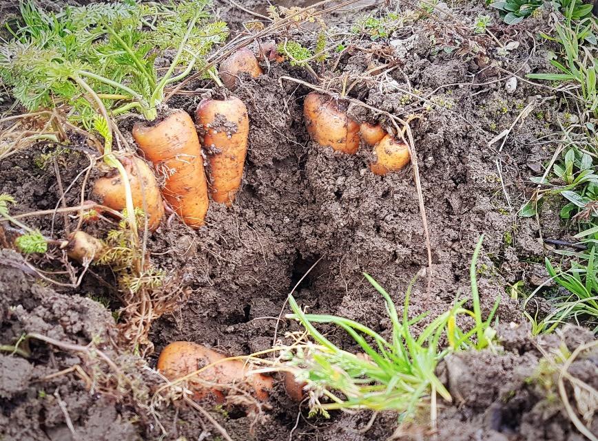 frische Karotten mitten im Winter ernten