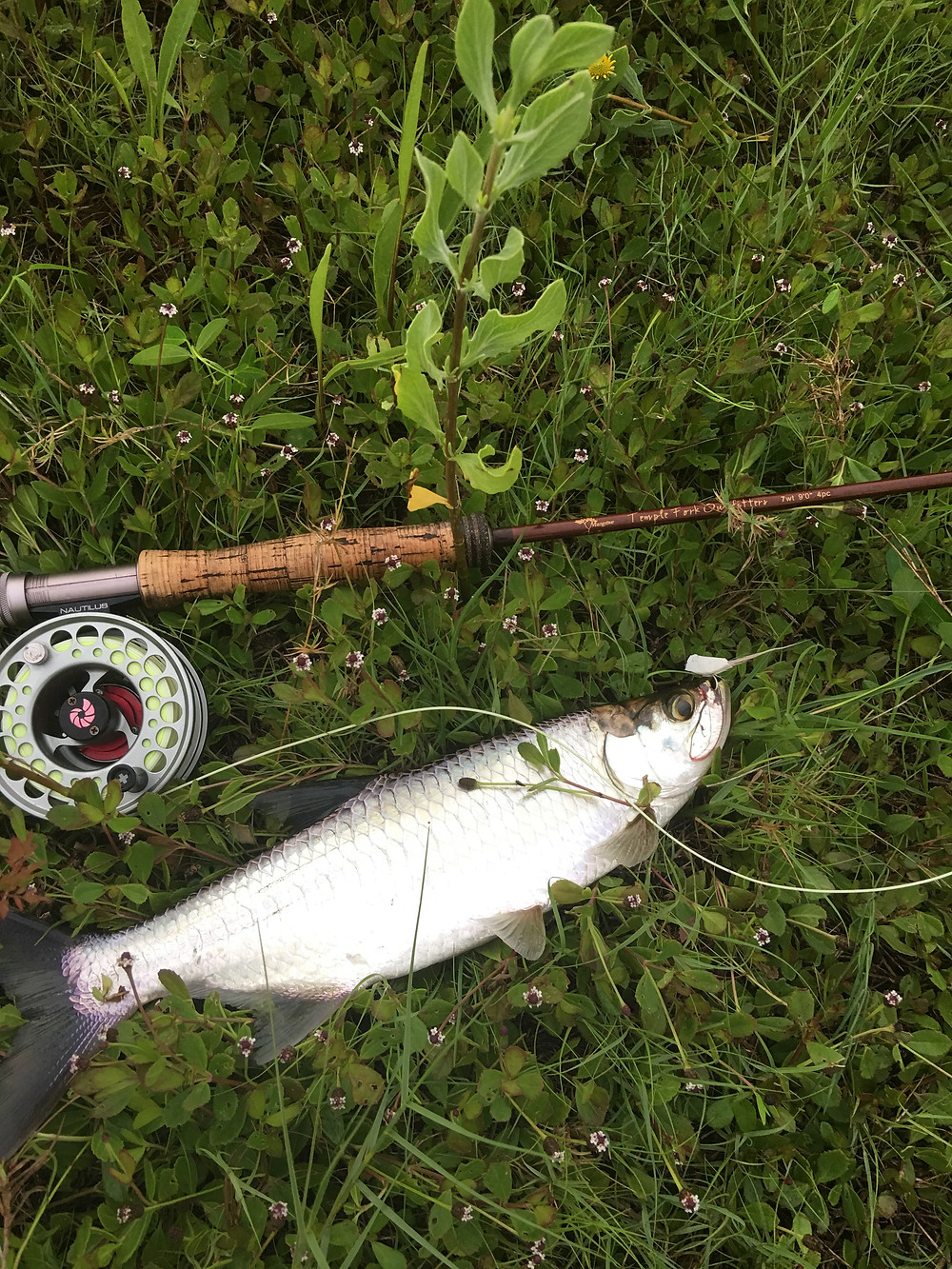 Baby Tarpon: Perfect on Light Fly Gear