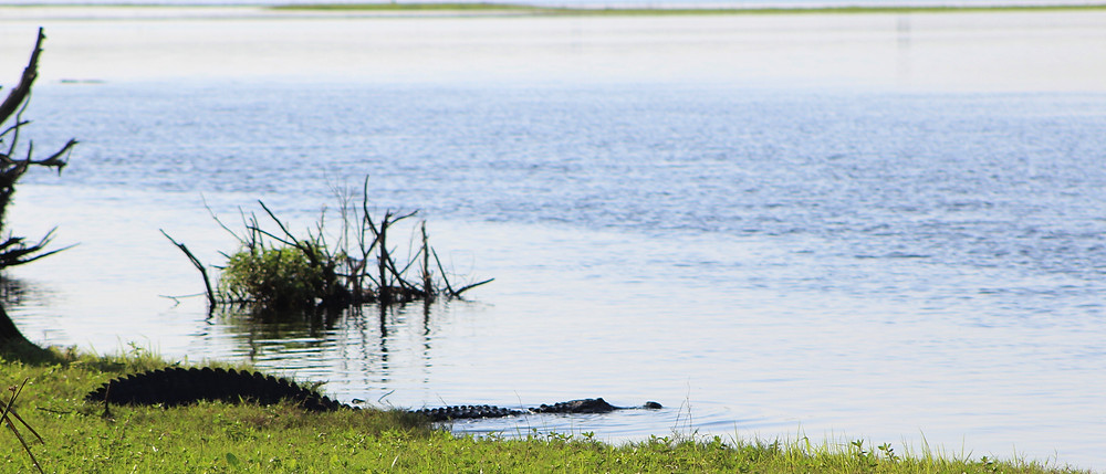 Captain John Tarr|Tailhunter Outdoor Adventures|Fishing Guide|Fishing Charters|Fishing|Florida|Wildlife|Alligator|Gator|St Johns River|River of Grass