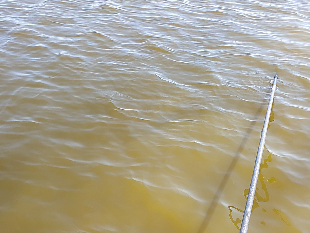 The recent green algae bloom in the river and lagoon is making sight fishing difficult.  Caused by rain and nutrient rich runoff, this algae reduces visibility to a few inches.
