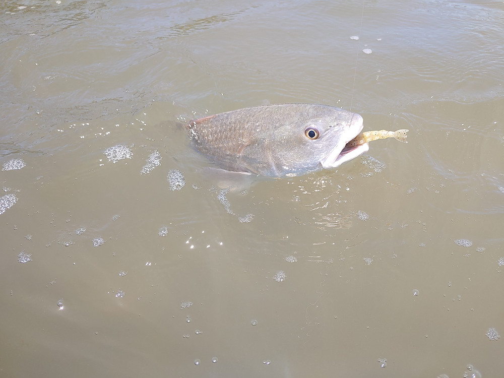 Redfish|Zman Fishing Products|Captain John Tarr|tailhunter Outdoor Adventures|Fishing Guide|Fishing Charters|Fishing|Florida