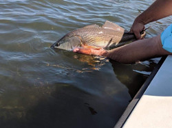 Captain John Tarr|Redfish Release