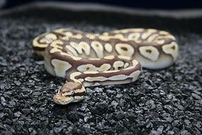 Pastel Mojave Monarch.JPG
