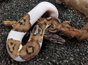 Anery Pied