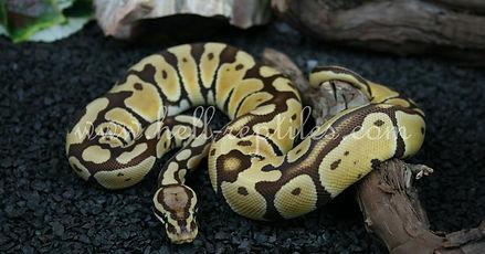 Pastel Monarch.jpg