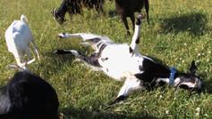 Myotonic Fainting Goats